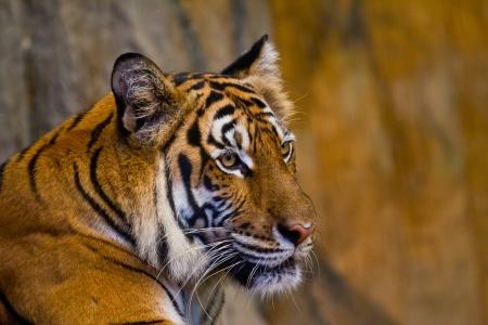 Portrait of Amur Tigers photo