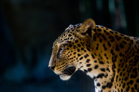 Leopard portrait photo
