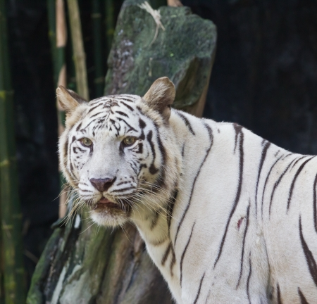 recessive: White tiger in zoo,  Thailand Stock Photo