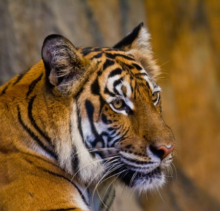 the amur: Portrait of Amur Tigers Stock Photo