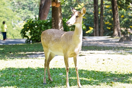 Siamese Elds deer photo