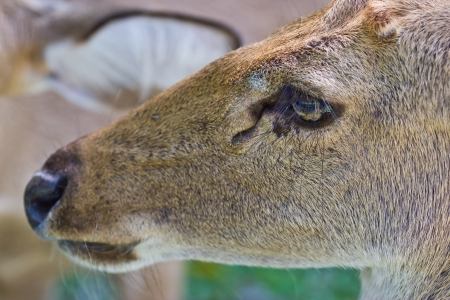eye of deer photo