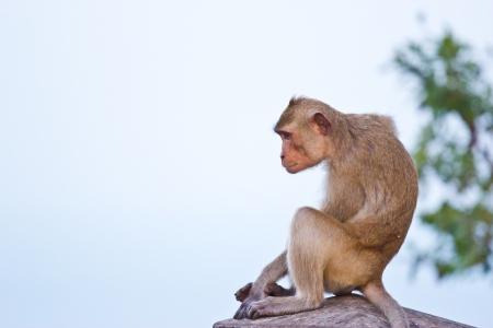 Crab-eating macaque Monkey Stock Photo