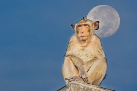 Crab-eating macaque Monkey see moon