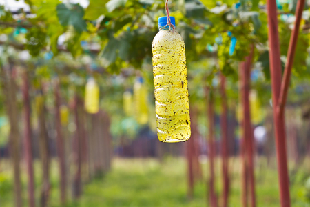 forest management: insect trap in Green grapes on vine