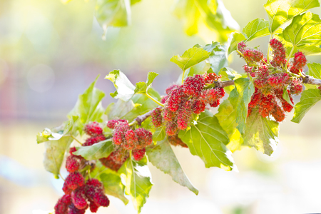 Berry fruit in nature, mulberry twig photo