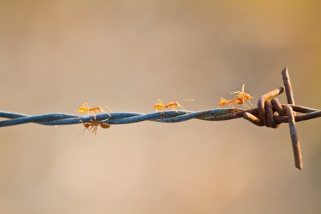 Red Ants Working on Barbed wire photo