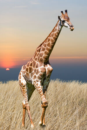 giraffe is isolated on white background Stock Photo - 25576174