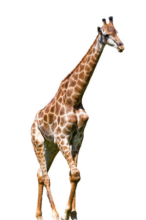 giraffe is isolated on white background photo