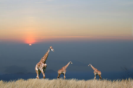 giraffe is isolated on white background Stock Photo