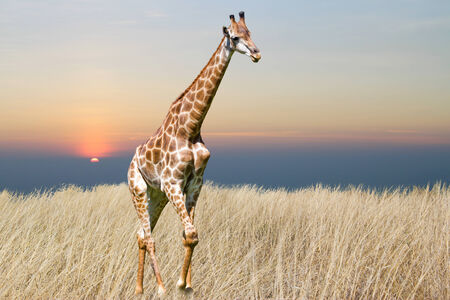 giraffe is isolated on white background Stock Photo - 25973888