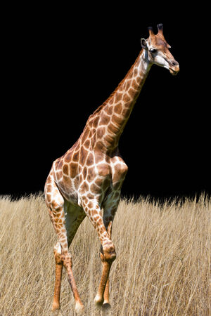 giraffe is isolated on white background Stock Photo - 25983460