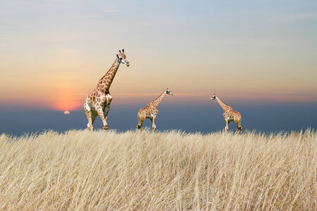 giraffe is isolated on white background Stock Photo - 25983420