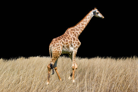 somali giraffe: giraffe is isolated on white background Stock Photo