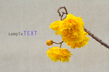 Yellow silk cotton flowers and blue sky background photo