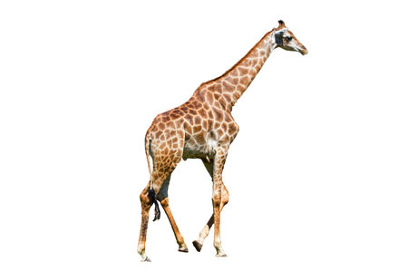 giraffe is isolated on white background Stock Photo - 26480373
