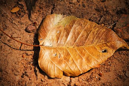 Dry Bo leaves photo