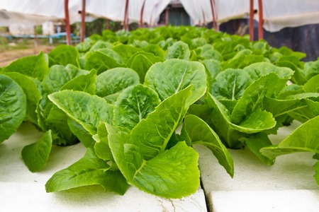 Organic vegetable farms for background. photo