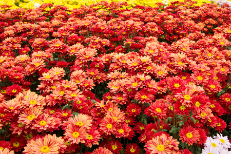 Orange chrysanthemum flowers background photo