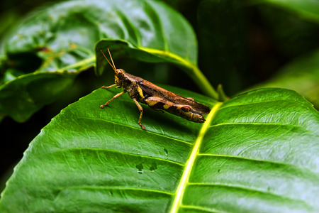 acrididae: Differential gasshopper on leaf.