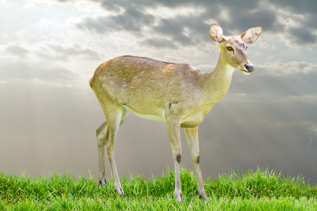 Siamese Elds deer photo