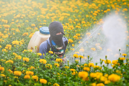 Pesticides in the garden marigold.