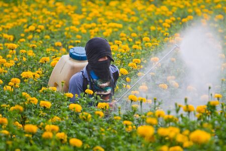 Pesticides in the garden marigold. photo