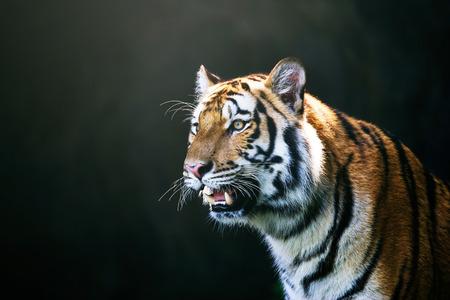 amur: Portrait of Amur Tigers Stock Photo