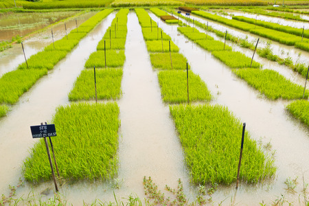 transgenic: Young transgenic rice test in tray