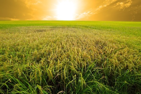 transgenic: Experimental rice farm ( transgenic test) Stock Photo