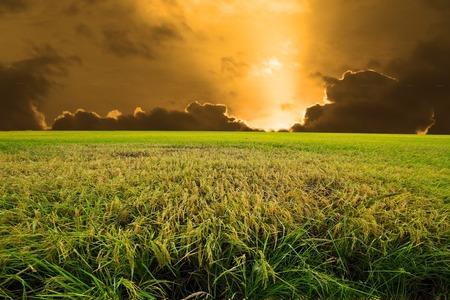 transgenic: Experimental rice farm ( transgenic test) Stock Photo
