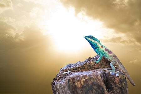 Blue iguana in the nature photo
