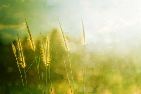 pampas grass  field against sunlight photo
