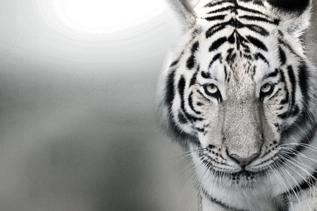tiger page: Tiger, portrait of a bengal tiger.