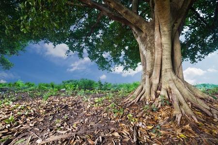 tropical tree: Banyan Tree tropical Foto de archivo