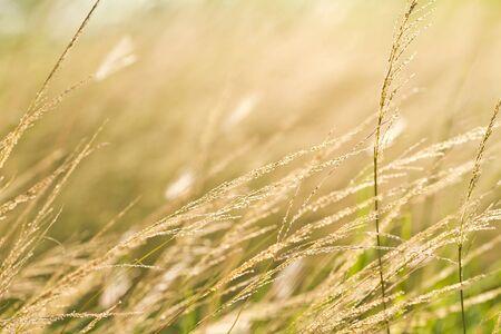 pampas: pampas grass  field against sunlight
