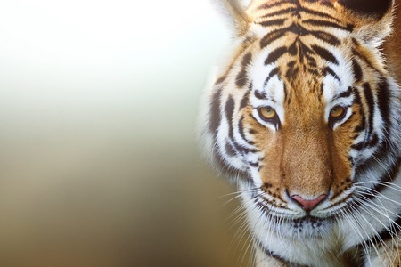 tiger page: Tiger portrait of a bengal tiger. Stock Photo