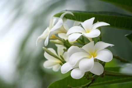 Tropische bloem uit Thailand  Stockfoto