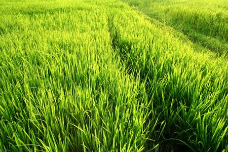 Full green rice paddy fields. Thailand photo