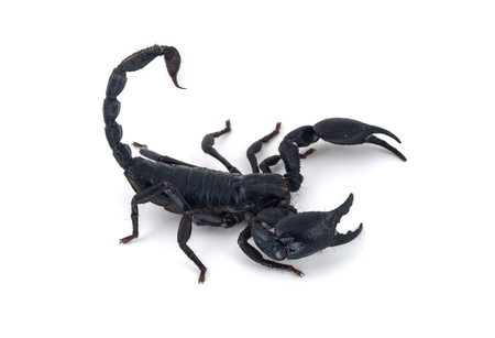 arachnid: black scorpion on white background Stock Photo