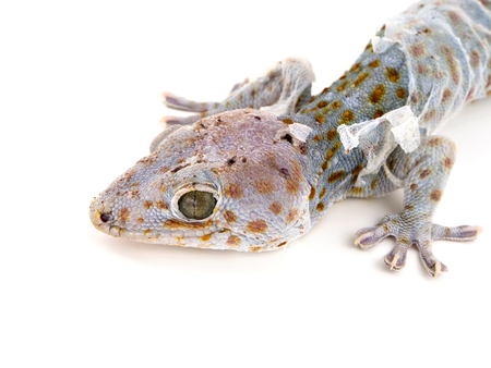 molting: Close up gecko molting off the old skin  on white backgound Stock Photo