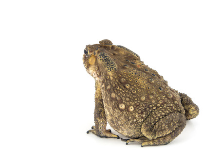bufo bufo: Back Common toad, bufo bufo, isolated on white background Stock Photo