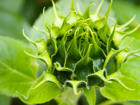 Closeup Green bud sunflower photo