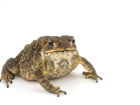 bufo bufo: Common toad, bufo bufo, isolated on white background