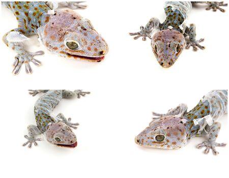 tokay gecko: collection of Tokay Gecko ,isolated