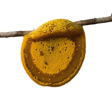 hem: Honeycomb hem or Apis florea Stock Photo