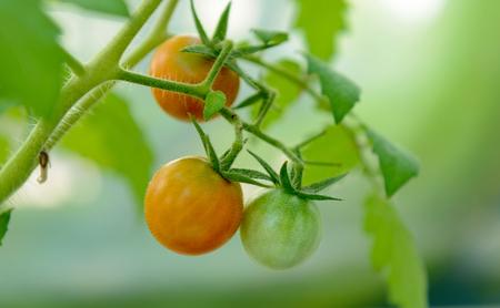 fresh tomatos on a plant