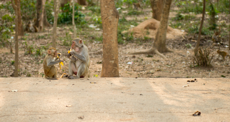 hairy arms: Young monkey (Crab-eating macaque) eating banana in Thailand Stock Photo