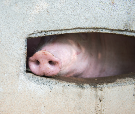 snout: Snout of a pig, macro, close up, shallow depth of field.