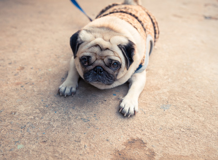 carlin: fat lovely pug dog laying on the floor making sad face Stock Photo